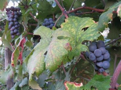 Img_3282_mylopotamos_big_grapes