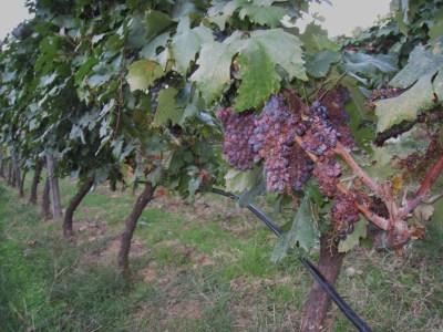 Img_3280_mylopotamos_small_grapes