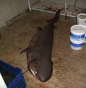 Roman 5 juni 2010 Athos shark