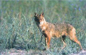 1192 - Athos wildlife: jackal (and other animals)