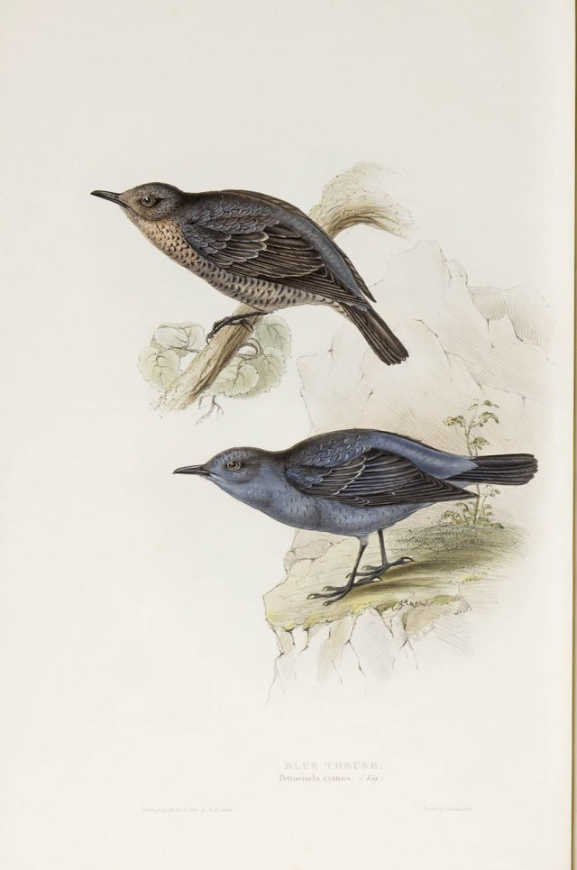 blue thrush gould