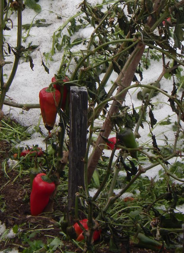 red pepper at Nea Skiti