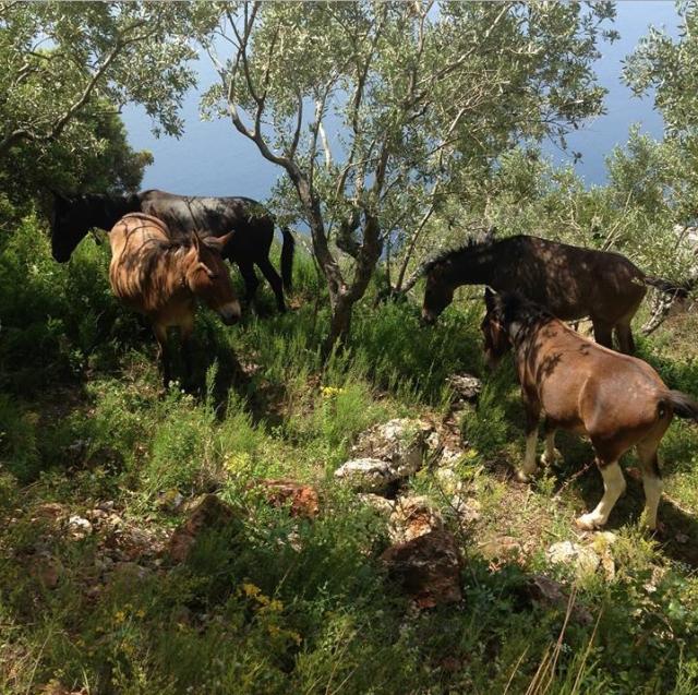 4 mules